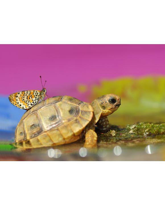 Lais Puzzle - Schmetterling auf Schildkröte - 100, 200, 500 & 1.000 Teile