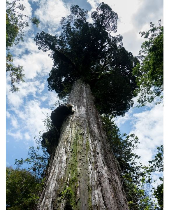 Lais Puzzle - Tausendjährige Lärche im Alerce Andino Nationalpark - 500 & 1.000 Teile