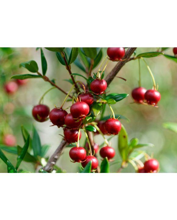 Lais Puzzle - Süße wilde Früchte, die im Süden Chiles wachsen und als Murta bekannt sind. Ihr wissenschaftlicher Name ist Ugni Molinae - 100, 200, 500 & 1.000 Teile