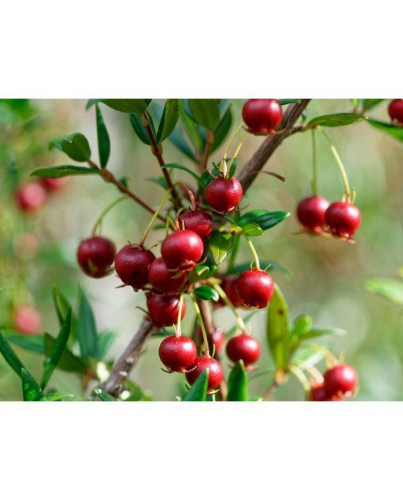 Lais Puzzle - Süße wilde Früchte, die im Süden Chiles wachsen und als Murta bekannt sind. Ihr wissenschaftlicher Name ist Ugni Molinae - 500 & 1.000 Teile