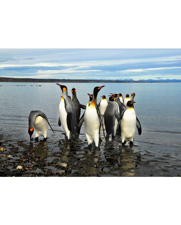 Lais Puzzle - Magellan-Pinguine in Feuerland - 100, 200, 500 & 1.000 Teile