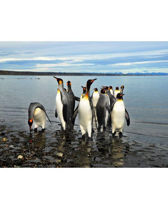 Lais Puzzle - Magellan-Pinguine in Feuerland - 500 & 1.000 Teile
