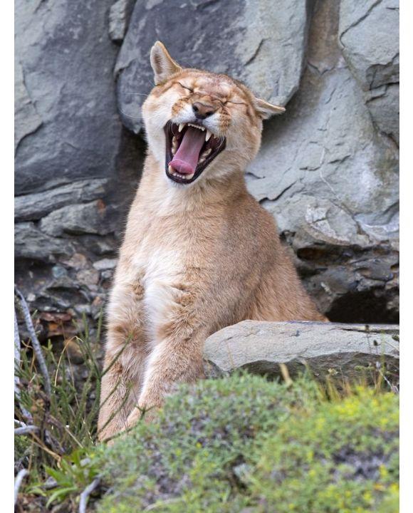 Lais Puzzle - Puma gähnt im Torres del Paine Nationalpark - 500 & 1.000 Teile