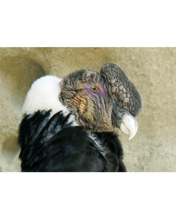 Lais Puzzle - Erwachsener männlicher Andenkondor (Vultur gryphus), Nationalpark Torres del Paine, Südpatagonien, Chile - 100, 200, 500 & 1.000 Teile