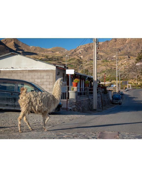 Lais Puzzle - Lama geht in einer Straße von Putre, Chile - 100, 200, 500 & 1.000 Teile