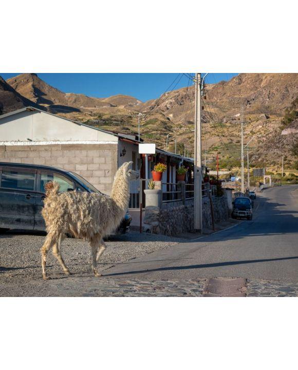 Lais Puzzle - Lama geht in einer Straße von Putre, Chile - 500 & 1.000 Teile