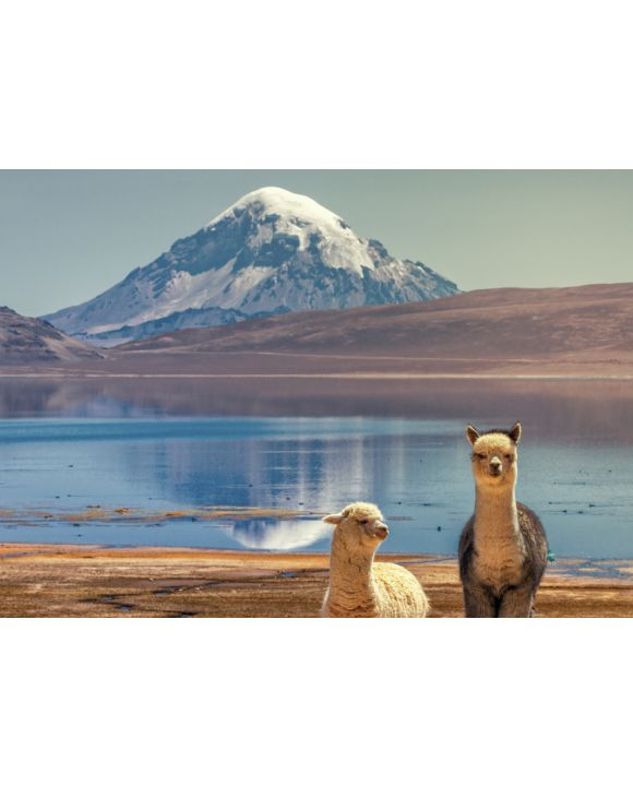 Lais Puzzle - Alpaka (Vicugna pacos), die am Ufer des Chungara-Sees am Fuße des Sajama-Vulkans im Norden Chiles weiden. - 100, 200, 500 & 1.000 Teile