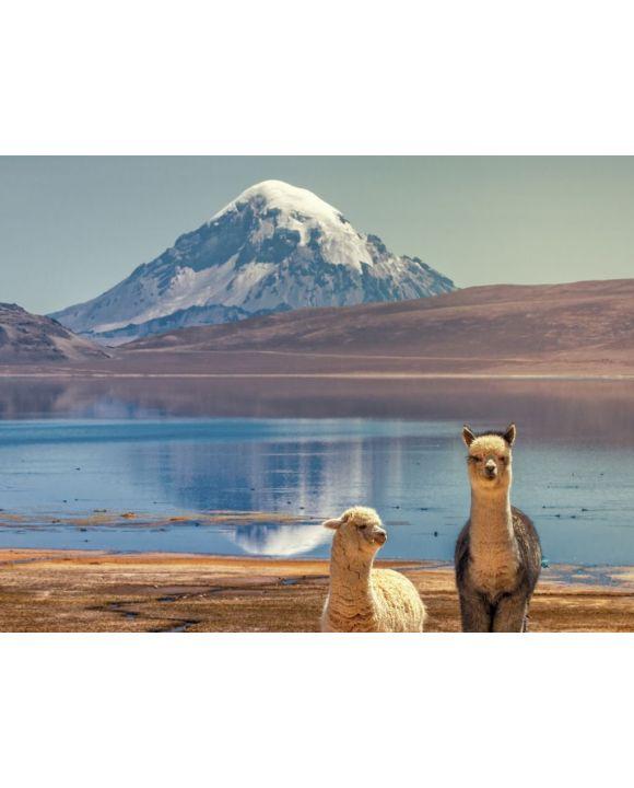 Lais Puzzle - Alpaka (Vicugna pacos), die am Ufer des Chungara-Sees am Fuße des Sajama-Vulkans im Norden Chiles weiden. - 500 & 1.000 Teile