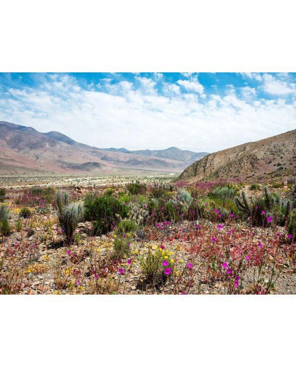 Lais Puzzle - Blühende Wüste (Spanisch: desierto florido) Atacama, Chile - 100, 200, 500, 1.000 & 2.000 Teile