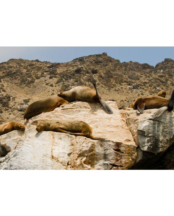 Lais Puzzle - Seelöwen auf Felsen, Sla Damas, La Serena, Chile - 100, 200, 500 & 1.000 Teile