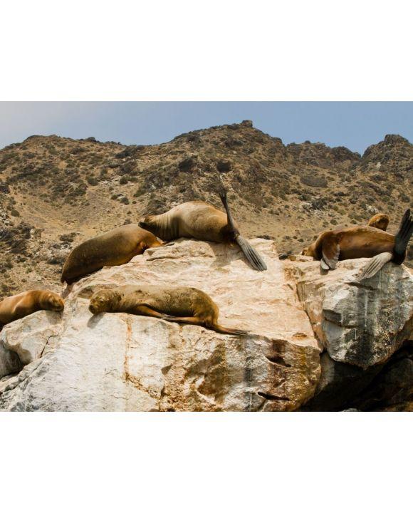 Lais Puzzle - Seelöwen auf Felsen, Sla Damas, La Serena, Chile - 500 & 1.000 Teile
