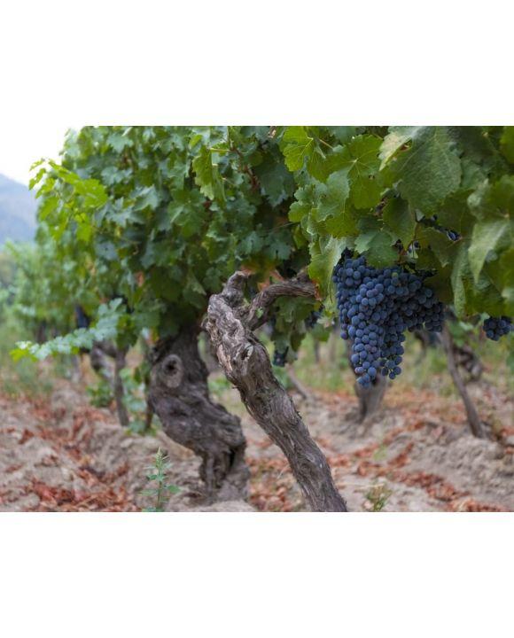 Lais Puzzle - Weinrebe mit roten Weintrauben auf Bauernhöfen in Chile - 100, 200, 500, 1.000 & 2.000 Teile