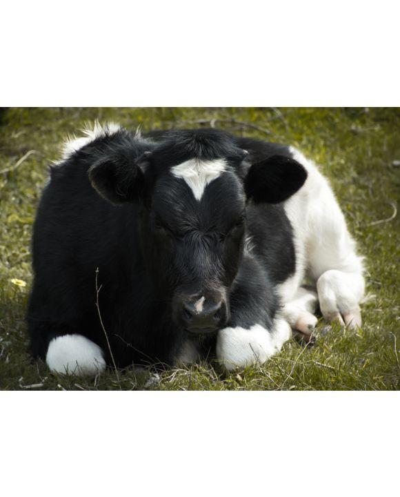 Lais Puzzle - Kuh auf dem Gebiet von Cobquecura, Chile - 100, 200, 500 & 1.000 Teile