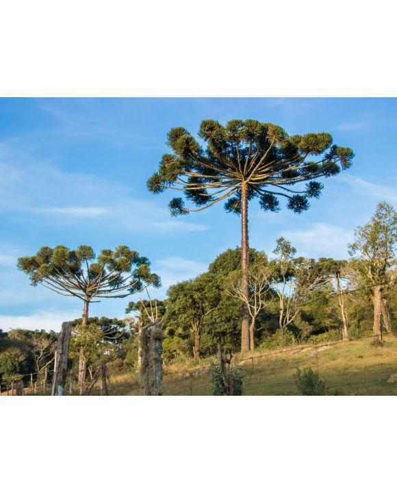 Lais Puzzle - Araucaria-Baum am sonnigen Tag im ländlichen Bereich, Chile - 100, 200, 500, 1.000 & 2.000 Teile