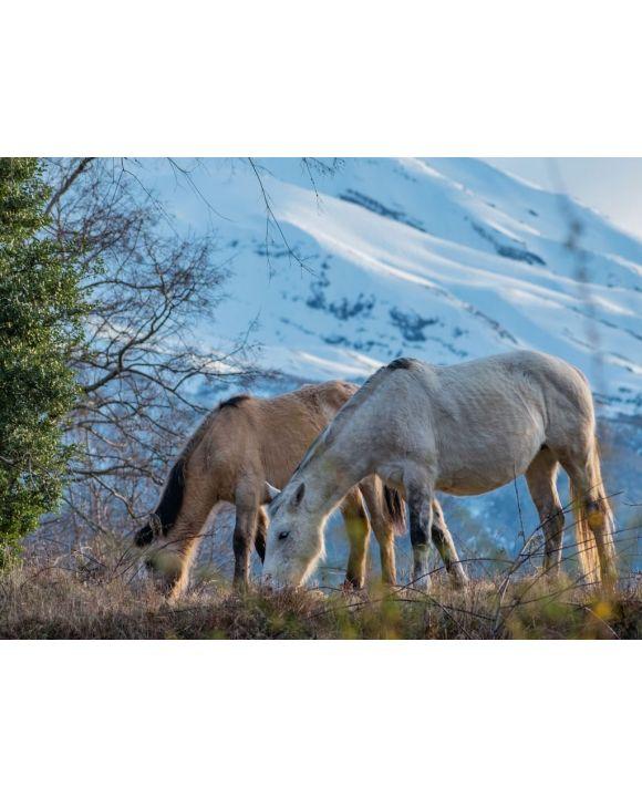 Lais Puzzle - Pferde im biologischen Reservat Huilo Huilo, Chile - 500 & 1.000 Teile