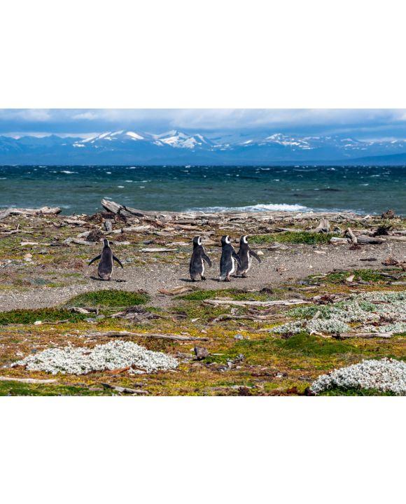 Lais Puzzle - Magellan-Pinguine in natürlicher Umgebung - Seno Otway Penguin, Chile - 100, 200, 500 & 1.000 Teile