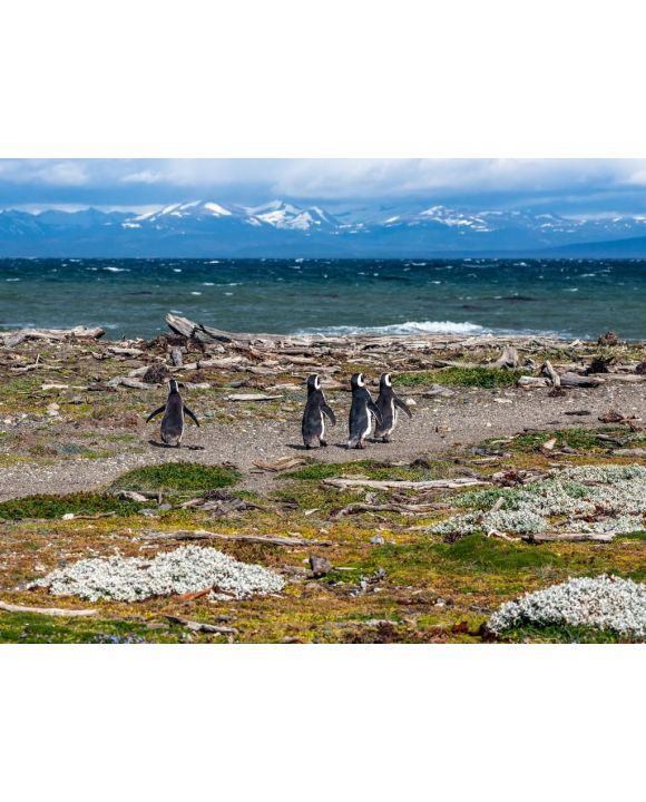 Lais Puzzle - Magellan-Pinguine in natürlicher Umgebung - Seno Otway Penguin, Chile - 500 & 1.000 Teile
