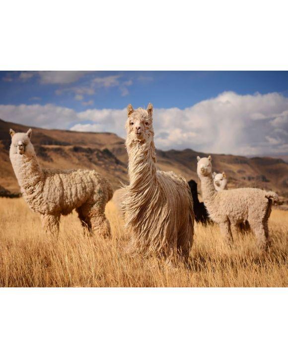 Lais Puzzle - Lamas (Alpaka) in den Anden, Peru - 500 & 1.000 Teile