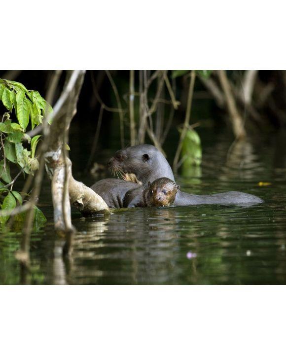 Lais Puzzle - Riesenotter, pteronura brasiliensis, Erwachsene und junge Stehende im Fluss Madre de Dios, Manu Parc in Peru - 500 & 1.000 Teile