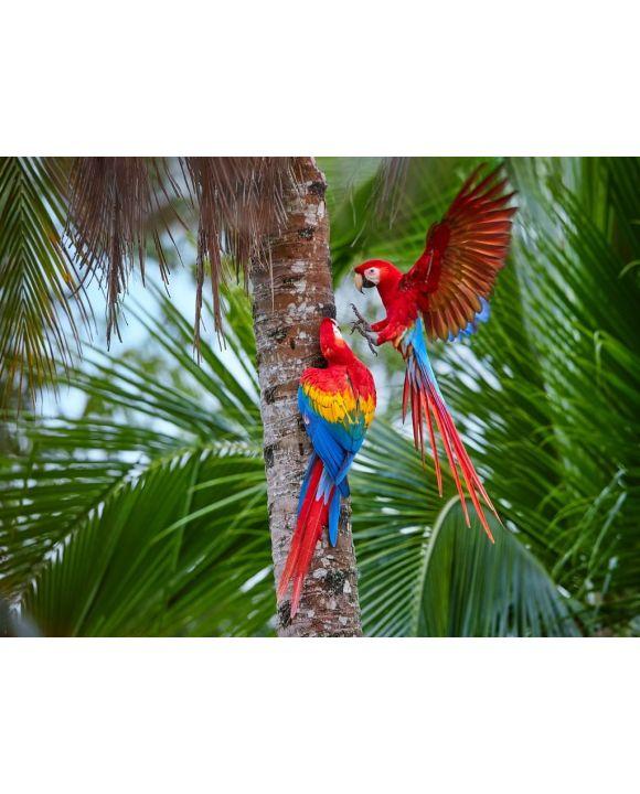 Lais Puzzle - Zwei Ara macao, Scharlachara, Paar große, rot gefärbte, amazonische Papageien in der Nähe des Nistplatzes auf einer Palme, ausgestreckte Flügel, langer roter Schwanz gegen feuchten Wald. Manu-Nationalpark, Peru, Amazonasbecken - 500 & 1...