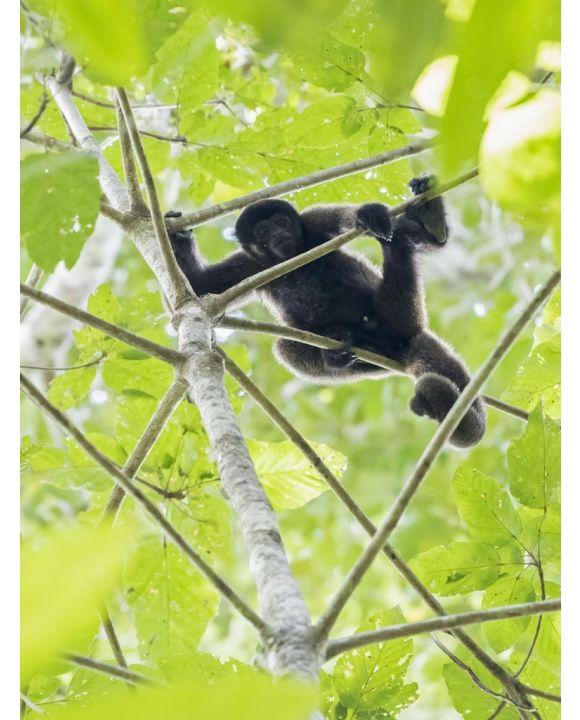 Lais Puzzle - Peru, Manu-Nationalpark, Schwarzer Heuler im Baum - 500 & 1.000 Teile