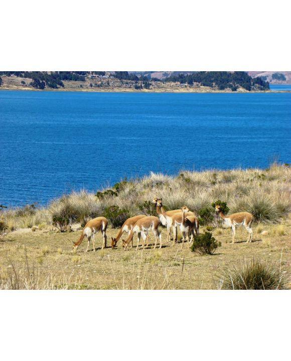 Lais Puzzle - Vikunjas auf der Insel Suasi (Titicaca-See, Peru) - 500 & 1.000 Teile