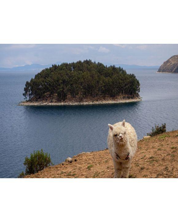 Lais Puzzle - Lama Alpaka in einer Landschaft von la isla de la luna (Mondinsel) mit Meer und Insel im Titicacasee, Peru - 500 & 1.000 Teile