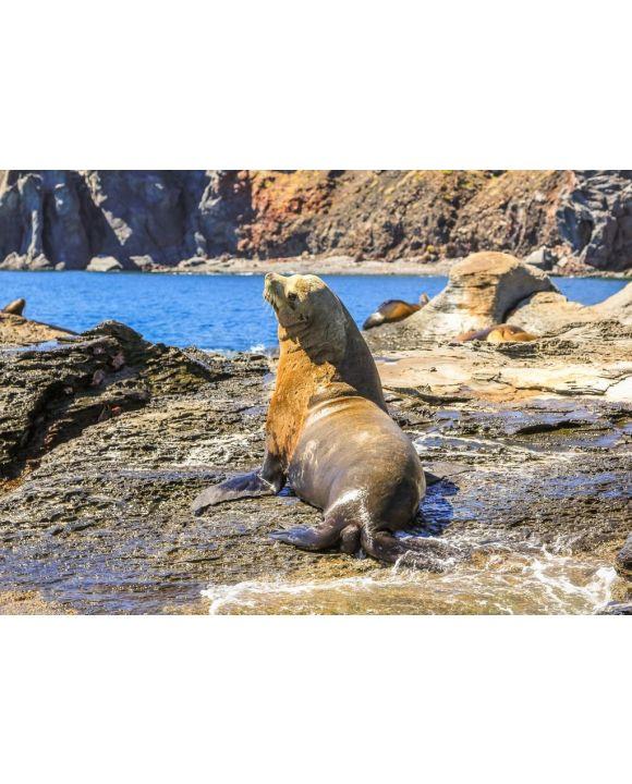 Lais Puzzle - Kalifornischer Seelöwe, Zalophus californianus, auf den Felsen. Isla Coronado bei Loreto in Baja Kalifornien, Mexiko - 500 & 1.000 Teile