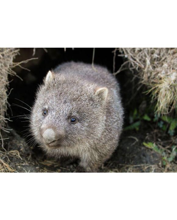 Lais Puzzle - Ein Wombat (Vombatus ursinus)-Baby (Joey), das aus seinem Bau im Grasland kommt - Cradle Mountain, Tasmanien Australien - 500 & 1.000 Teile