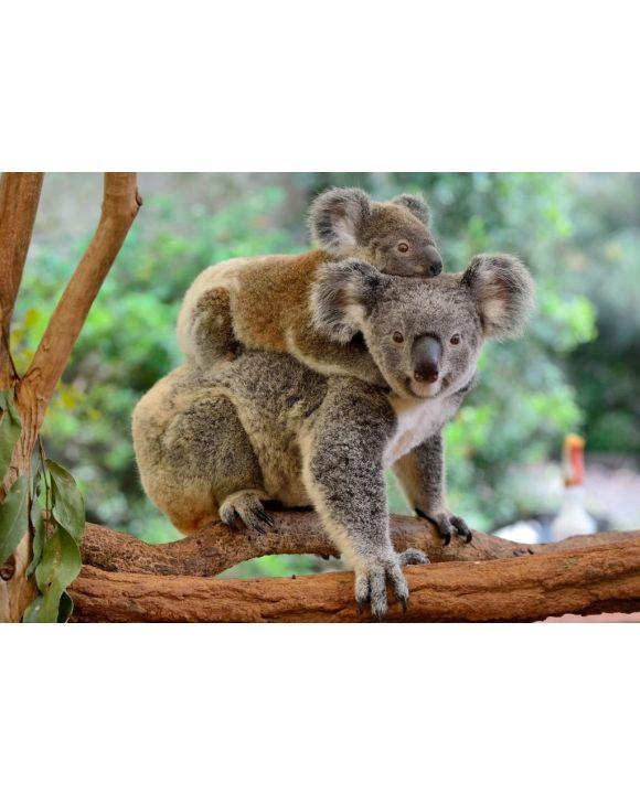 Lais Puzzle - Koala mit Baby auf dem Rücken - 500 & 1.000 Teile