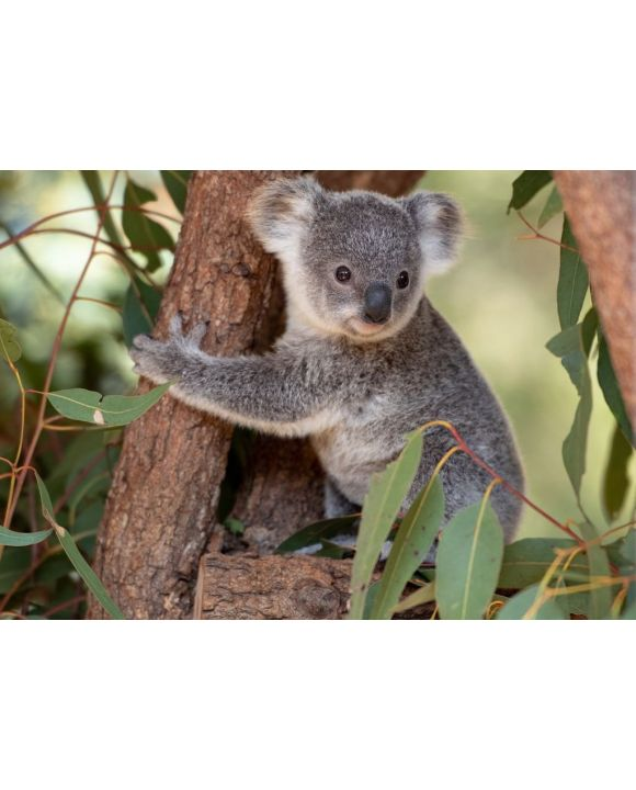 Lais Puzzle - Koala Joey umarmt einen Baumast - 500 & 1.000 Teile