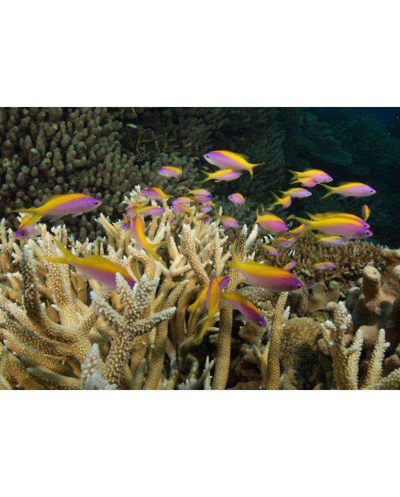 Lais Puzzle - Korallenriff, Queensland, Australien - 500 & 1.000 Teile