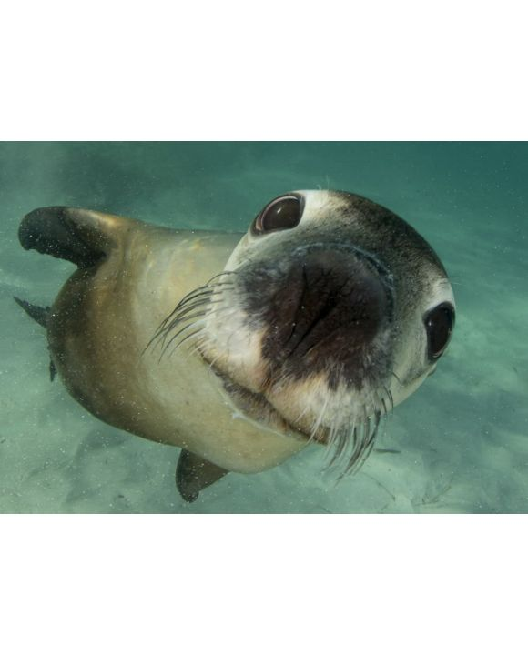 Lais Puzzle - Australischer Seelöwe Unterwasser-Porträtfoto - 500 & 1.000 Teile