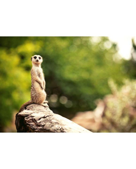 Lais Puzzle - Erdmännchen, Zoo Adelaide, Australien - 500 & 1.000 Teile