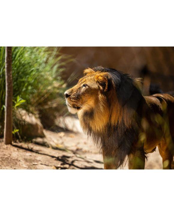 Lais Puzzle - Löwe im Zoo Adelaide, Australien - 500 & 1.000 Teile