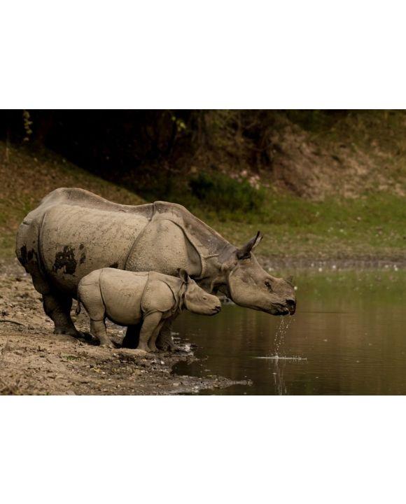 Lais Puzzle - Großes Indisches Nashorn und sein Kalb im Kaziranga National Park, Indien - 500 & 1.000 Teile