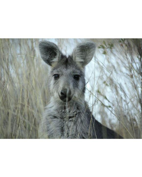 Lais Puzzle - Mutter Wallaby im trockenen Gras auf einer Farm in Tamworth, Rural Australia - 500 & 1.000 Teile