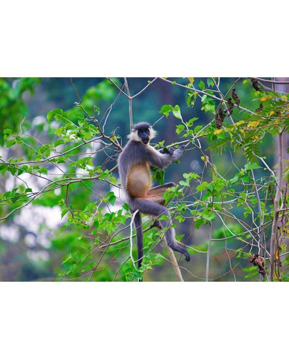 Lais Puzzle - Kappenlangur, Trachypithecus pileatus, Nameri National Park, Indien - 500 & 1.000 Teile