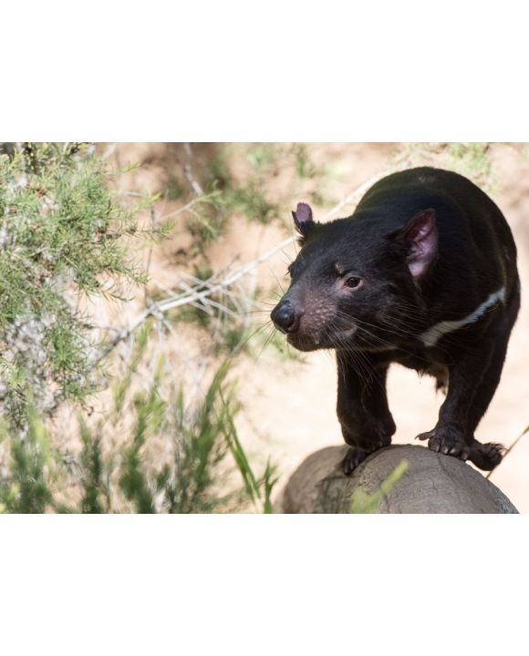Lais Puzzle - Tasmanien Teufel Nahaufnahme Porträt, Australien - 500 & 1.000 Teile