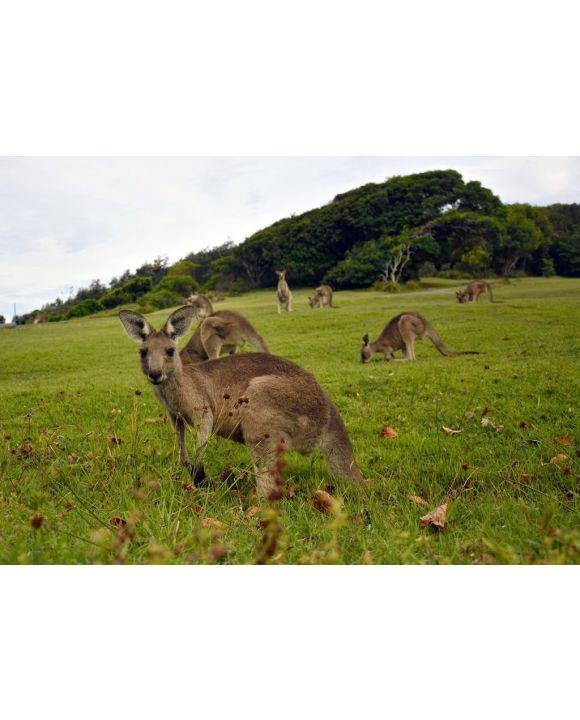 Lais Puzzle - Kängurus in der Nähe eines Pazifikstrandes in Australien - 500 & 1.000 Teile