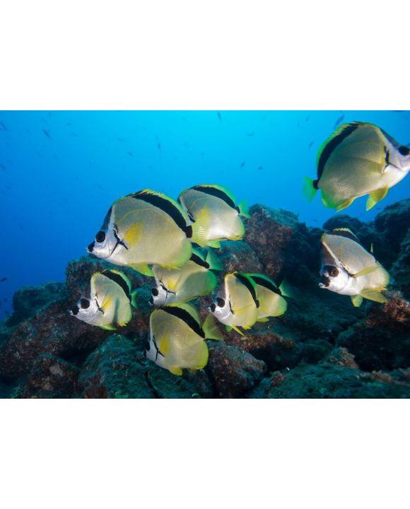 Lais Puzzle - Unterwasser-Seitenansicht des Schwarznasen-Barbierfisches (Johnrandallia nigrirostris) San Benedicto, Revillagigedo, Colima, Mexiko - 500 & 1.000 Teile