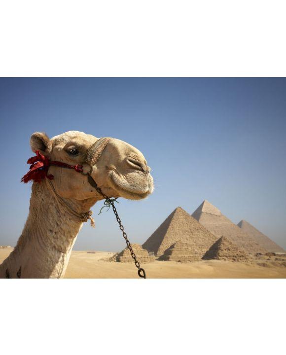 Lais Puzzle - Porträt eines Kamels vor den Pyramiden von Gizeh, Ägypten - 500 & 1.000 Teile