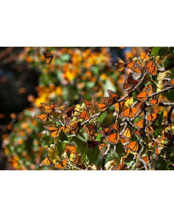 Lais Puzzle - Biosphärenreservat Monarchfalter, Michoacan (Mexiko) - 500 & 1.000 Teile