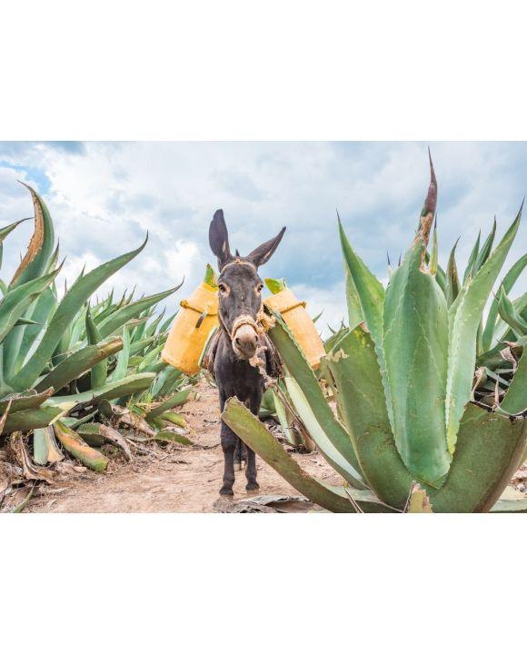 Lais Puzzle - Schöner Esel bei den Maguey-Feldern in Tlaxcala, Mexiko - 500 & 1.000 Teile