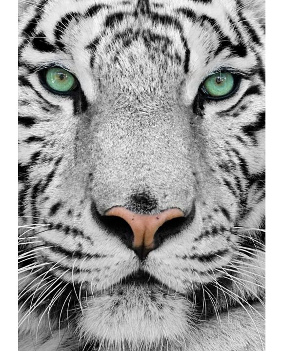 Lais Puzzle - Weißer Tiger - 500 & 1.000 Teile