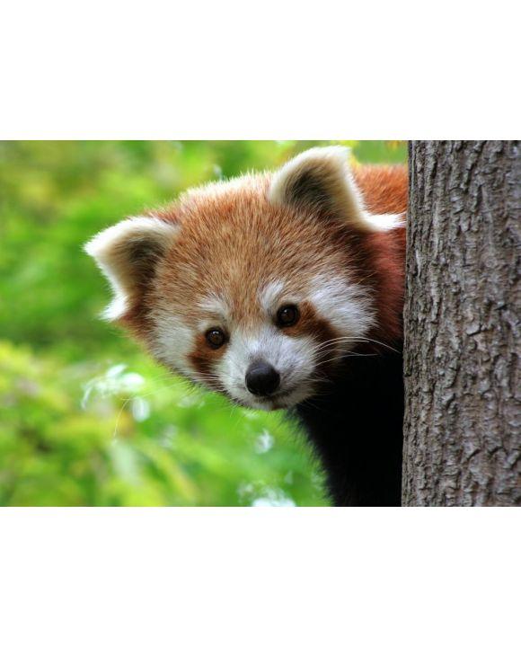 Lais Puzzle - Roter Panda - 500 & 1.000 Teile