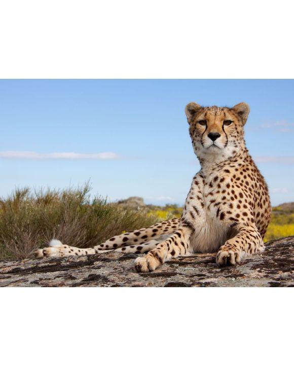 Lais Puzzle - Gepard - 500 & 1.000 Teile