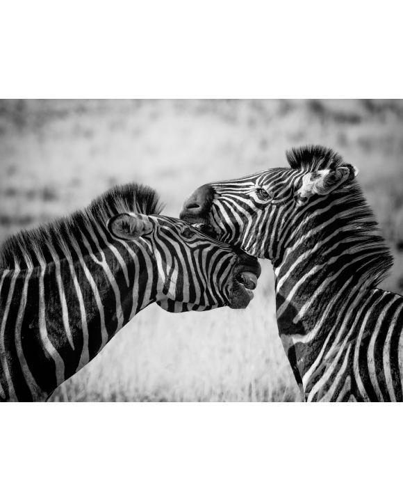 Lais Puzzle - Zebras - 500, 1.000 & 2.000 Teile