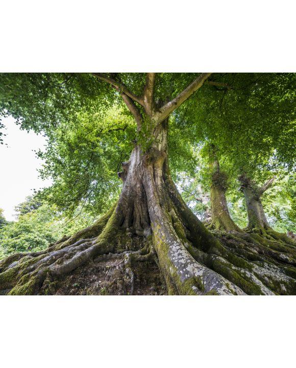 Lais Puzzle - Großer alter Baum - 100, 500 & 1.000 Teile