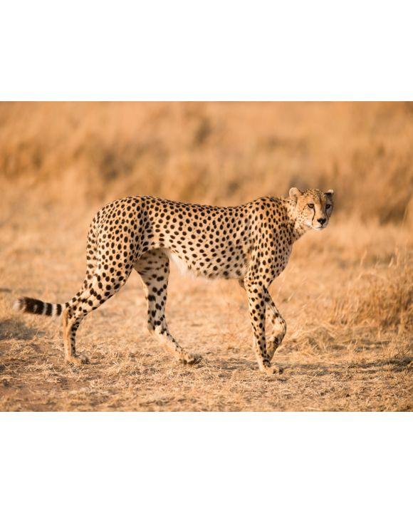 Lais Puzzle - Gepard - 100, 200 & 500 Teile
